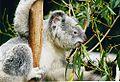 Koala-ag1.jpg