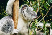 Koala accroché d'une main à une branche verticale, saisissant de l'autre main une feuille à l'extrémité d'une branche horizontale, tout cela en mâchant des feuilles d'eucalyptus