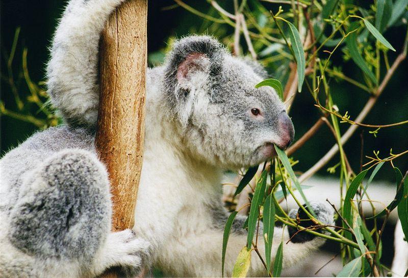 Fájl:Koala-ag1.jpg