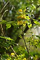 Korina 2015-04-30 Mahonia aquifolium 3.jpg