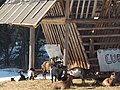 Kozičky pri lyžiarskom stredisku - panoramio.jpg