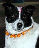 A dog with flower garlands on his neck