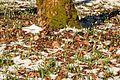 Kvetoucí sněženky v PP Sněženky ve Vysokém lese 24.jpg