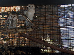 Living Desert Zoo and Gardens - Barn owls at the zoo