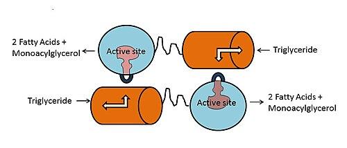 Lipoprotein lipase - Wikipedia