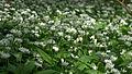 LSG Westlicher Steilhang des Rurtales Bärlauch (Allium ursinum) 2 DE-NW.jpg