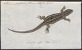 Lacerta agilis - 1753-1834 - Print - Iconographia Zoologica - Special Collections University of Amsterdam - UBA01 IZA1000198.tif