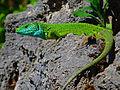 Lacerta viridis Vértesszőlős.jpg