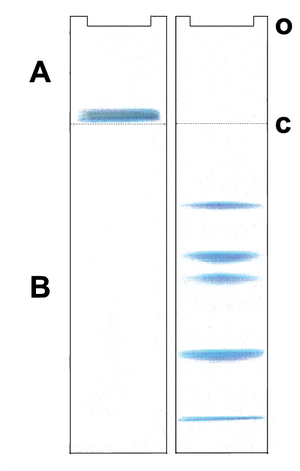 Gel electrophoresis of proteins -  Postulated migration of proteins in a Laemmli gel system A: Stacking gel, B: Resolving gel, o: sample application c: discontinuities in the buffer and electrophoretic matrix