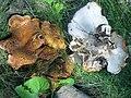 Laeticutis cristata (Schaeff.) Audet 447897.jpg