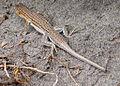 Lagartija colirroja 001 - Cabo de Gata (Acanthodactylus erythrurus).jpg