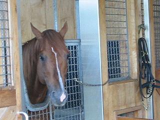 Lammtarra American-bred Thoroughbred racehorse