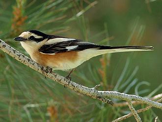 Masked shrike - Male