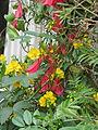Lapageria rosea, & Senna corymbosa (15410802091).jpg