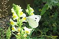 Large white (NHcest) (26150993019).jpg