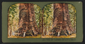 Largest tree in Mariposa Grove, Point Trail, Yosemite Valley, Cal, by Ingersoll, T. W. (Truman Ward), 1862-1922.png