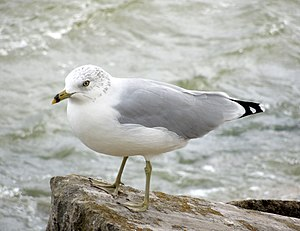 Ring-billed gull - Non-breeding adult in Ohio