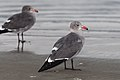 Larus heermanni -Morro Strand State Beach, Morro Bay, California, USA-8.jpg