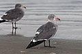 Larus heermanni -Morro Strand State Beach, Morro Bay, California, USA-8.jpg