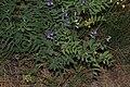 Lathyrus pauciflorus 9729.JPG