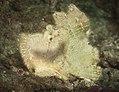 Leaf Scorpionfish (Taenianotus tricanthus).jpg