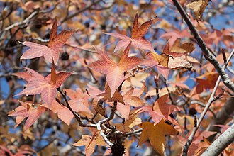 Liquidambar - Image: Leaves of Liquidambar orientalis 1