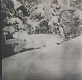 Left-half of a stereoscopic photograph picturing snow-covered pines at Linudd (34863532742).jpg