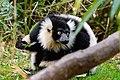 Lemur (26618796257).jpg