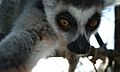 Lemur self-portrait2.jpg