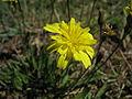 Leontodon saxatilis flowerhead11 NT (16523490555).jpg
