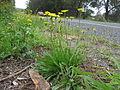 Leontodon saxatilis plant6 (14446201179).jpg