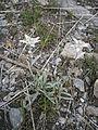 Leontopodium alpinum 002.JPG