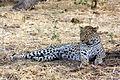 Leopard panthera pardus.jpg