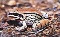 Leptodactylus mystacinus.jpg