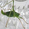 Leptophyes punctatissima fem - HH20060810 16.jpg