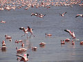 Lesser Flamingos4.JPG