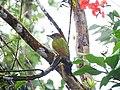 Lesser Yellownape - Mugilu Homestay 01.jpg