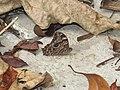 Lethe rohria Fabricius, 1787 – Common Treebrown at Periya (2).jpg