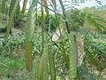 Leucaena leucocephala NP.JPG