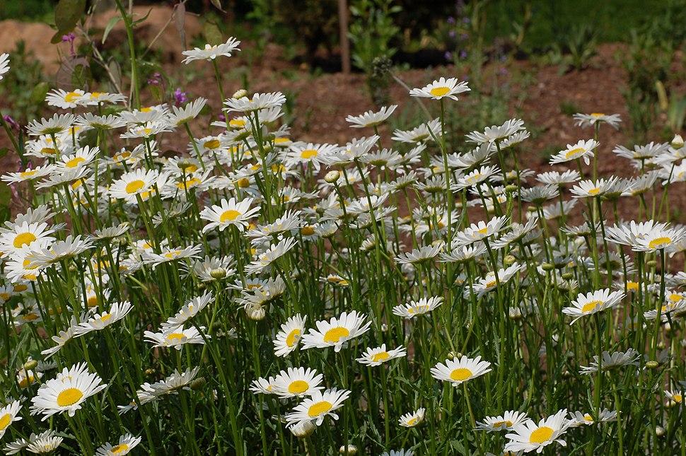 Leucanthemum vulgare 'Filigran' Flowers 3008px