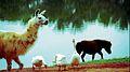 Lhama, Ponei e Patos Fazendinha.jpg
