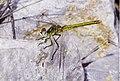 Libel·lula - Dragonfly - Sympetrum fonscolombei (3963734852).jpg