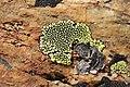 Lichen (16576026847).jpg