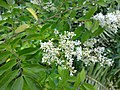Ligustrum sinense leaves and flowers 3.jpg