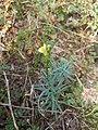 Linaria vulgaris 150731013.jpg