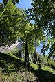 Linde unterhalb des Schloss Friedberg 02.JPG