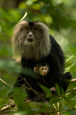 Lion-tailed macaque with baby.jpg