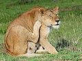 Lion (3075558503).jpg