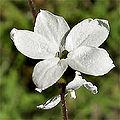 Lithophragmacymbalaria.jpg
