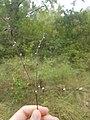 Lithospermum officinale 02 LM Lecques 120820.jpg